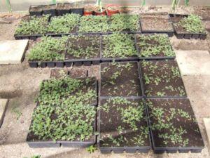 pěstování kotvičníku